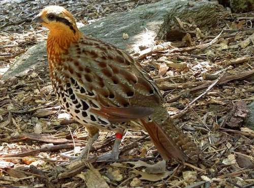 Indian bird - Mountain bamboo-partridge - Bambusicola fytchii
