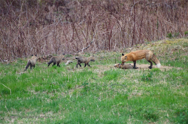 foxes vixen kit kits babies baby young
