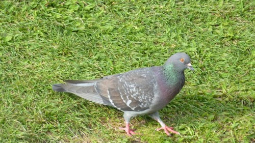 how to clean up pigeon droppings