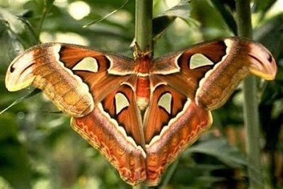 Atlas Moth - Biggest Butterfly in the World