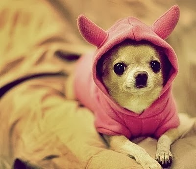 5 Interesting facts about Chihuahuas