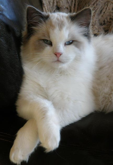 Appearance and Coat Colors in Ragdoll Cats