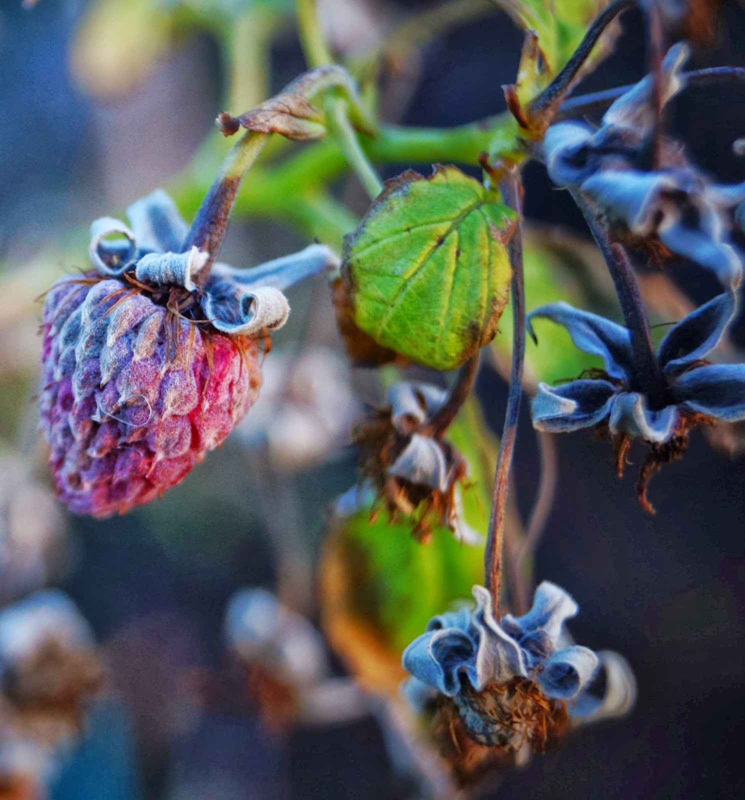 Freeze dried raspberries on the plant - 'Grow Our Own' Allotment Blog
