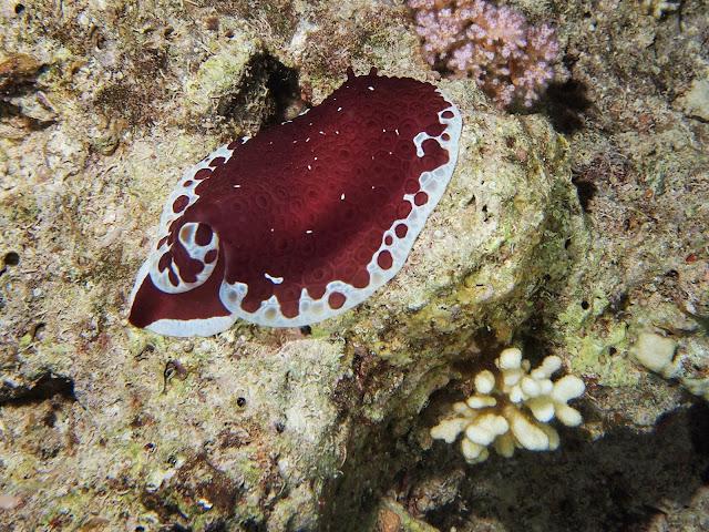 голожаберный моллюск Морской заяц красный фото