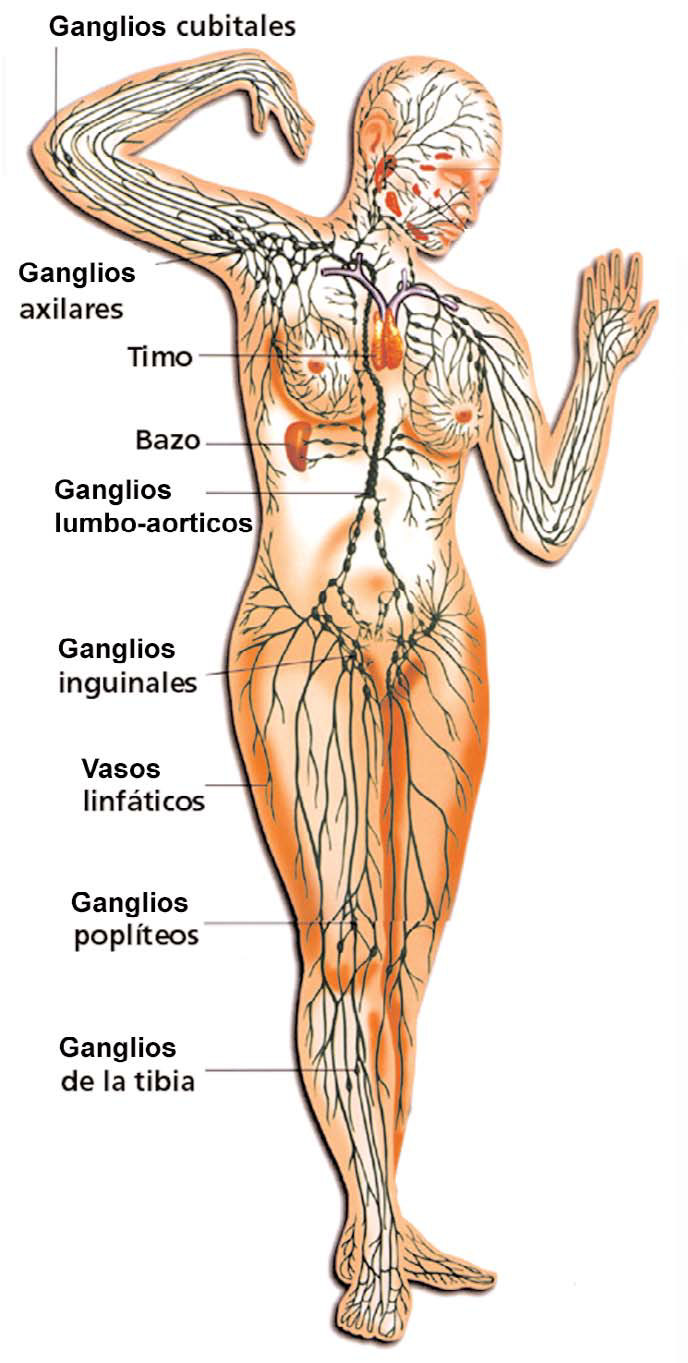A punta de bisturí: Linfadenectomía