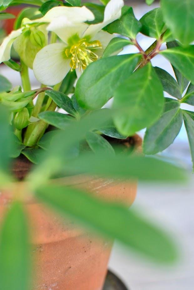 närbild julros helleborus niger hannashantverk.blogspot.se