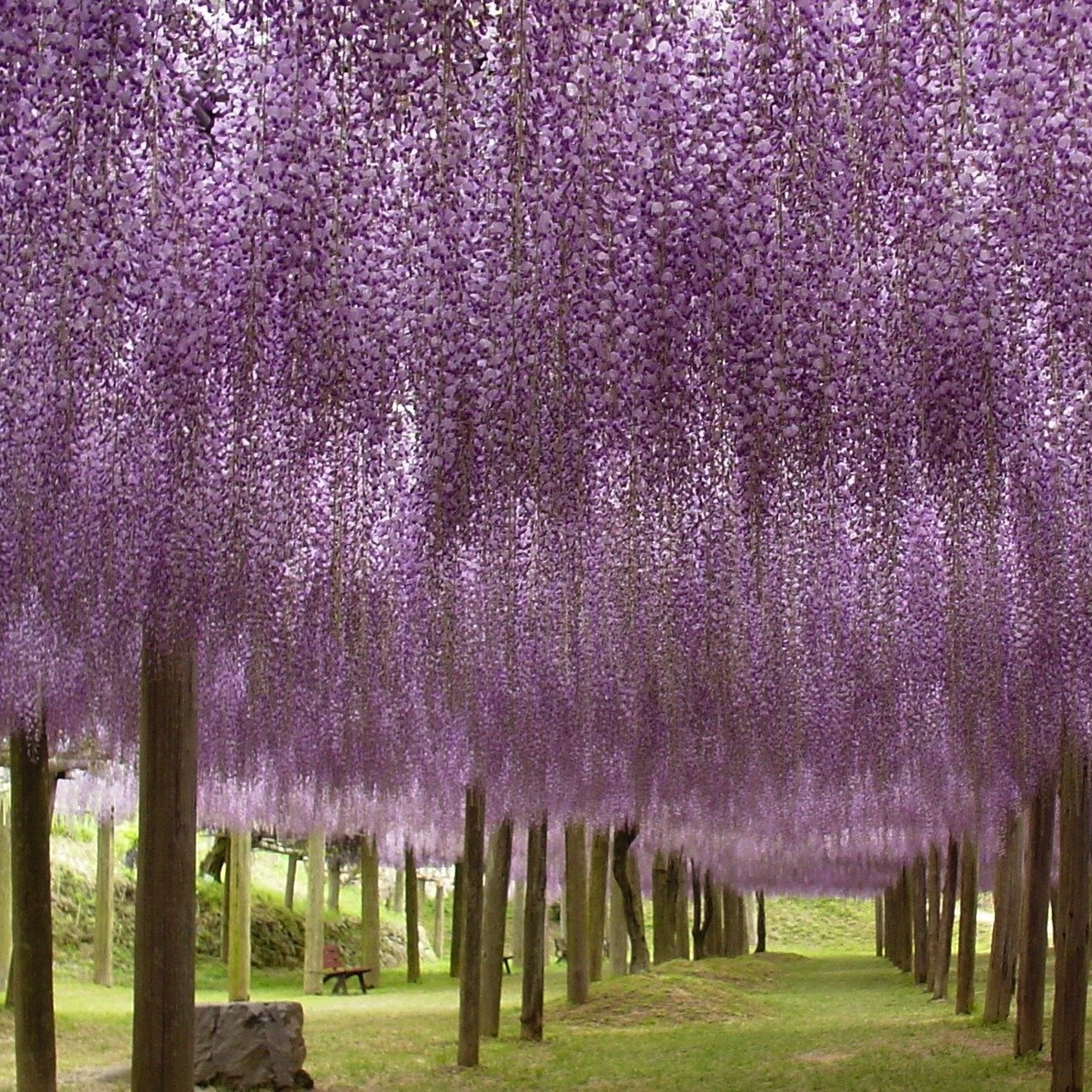 The cinderella project because every girl deserves a Wisteria flower tunnel path in japan