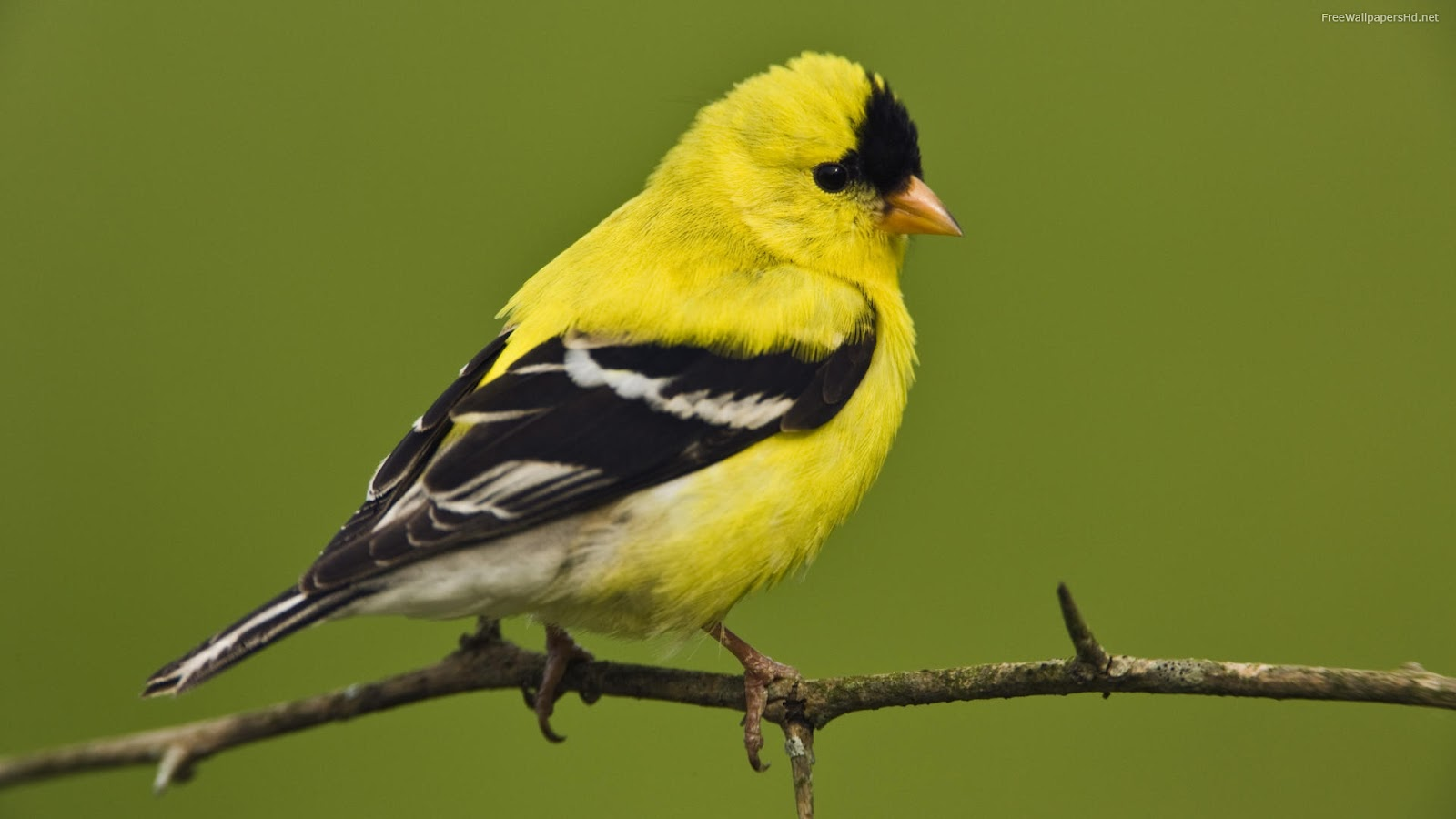 Pictures world yellow birds wallpapers Pictures of birds