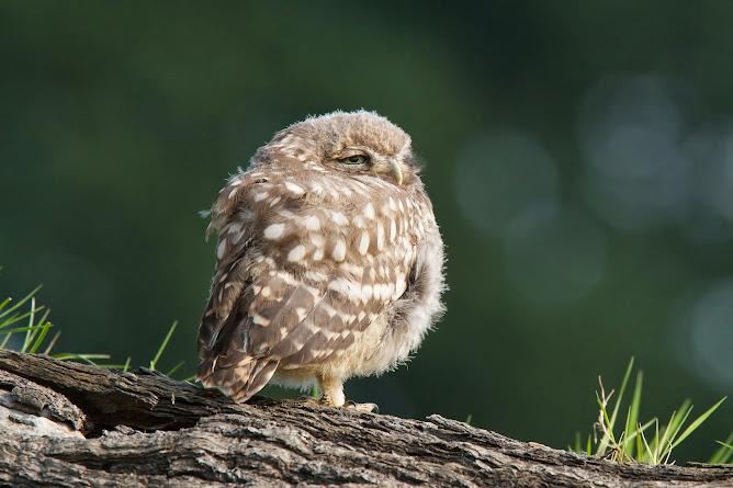 Little Owl/Athene Noctua ( juvenile)