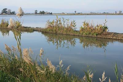 Ricefields near L'Encanyissada lagoon in Delta de l'Ebre
