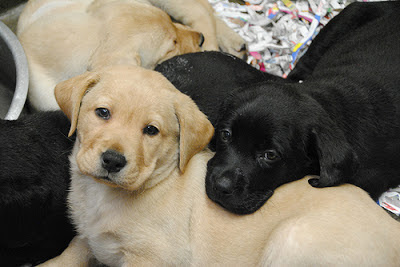 A pile of Labrador puppies!