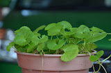 pegaga (pennywort)