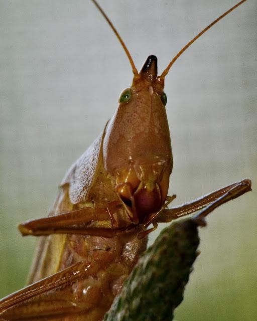 Eastern Swordbearer - Neoconocephalus ensiger - a coneheaded katydid