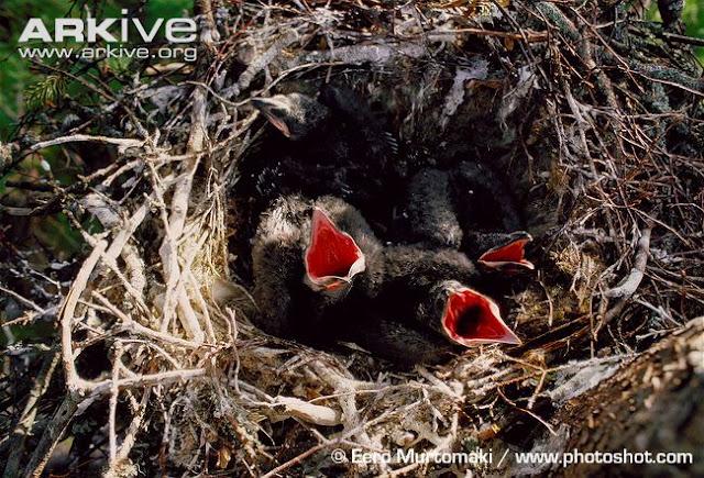 Burung+Gagak+4 rappets.com