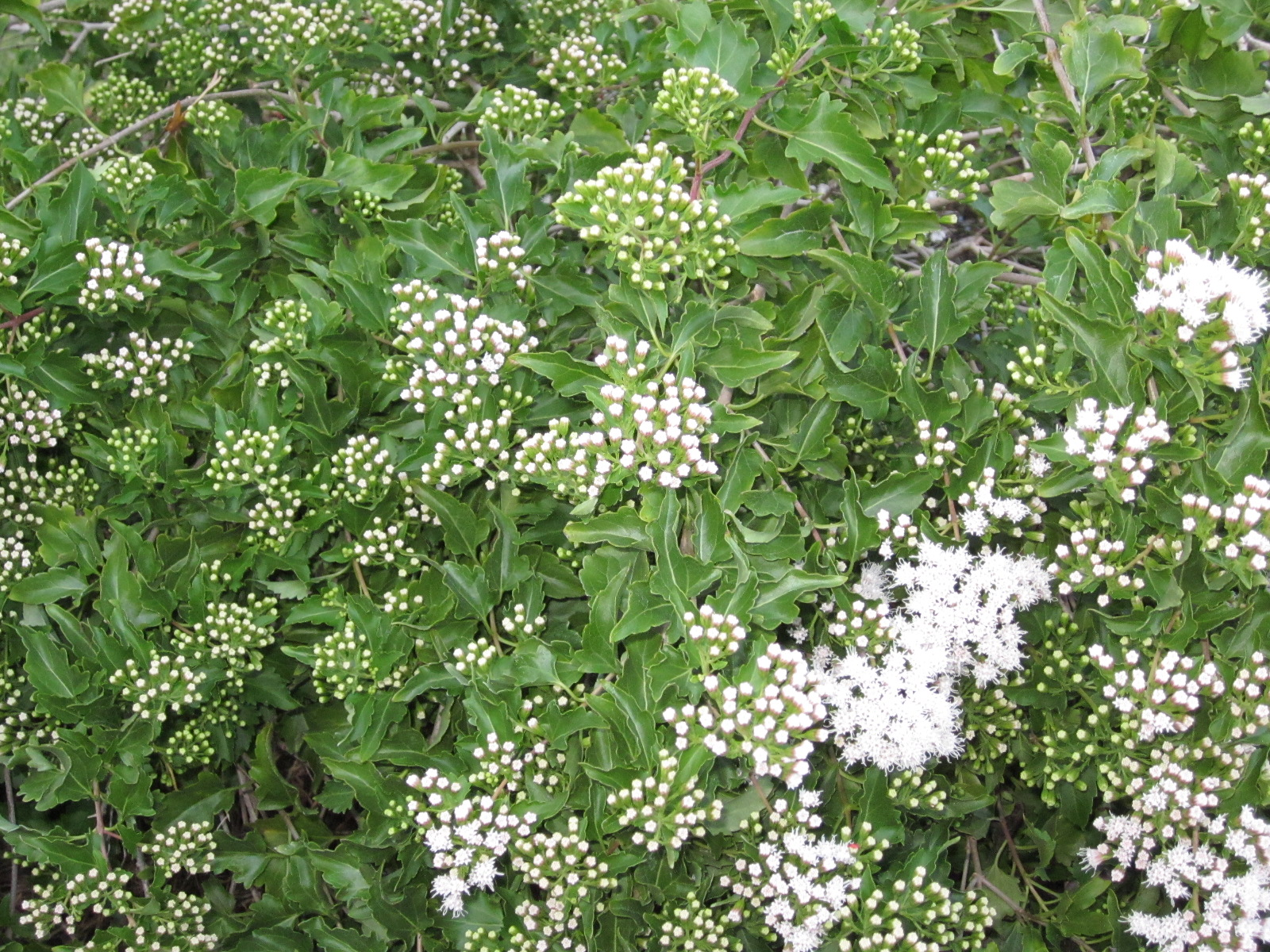 Lisa bonassins garden whats blooming now white mist flower 10 the white mist flower is starting to open it is a fall bloomer it is a huge favorite of bees this plant dies to the ground in the winter mightylinksfo