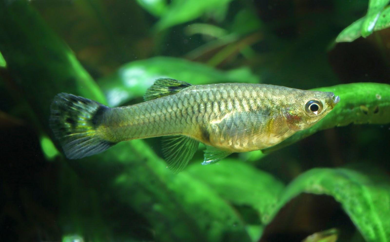 Peces y plantas ornamentales poecilia reticulata guppy for Reproduccion de peces ornamentales