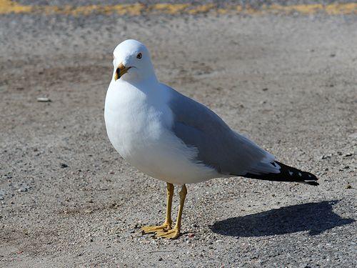 Female seagull - photo#16