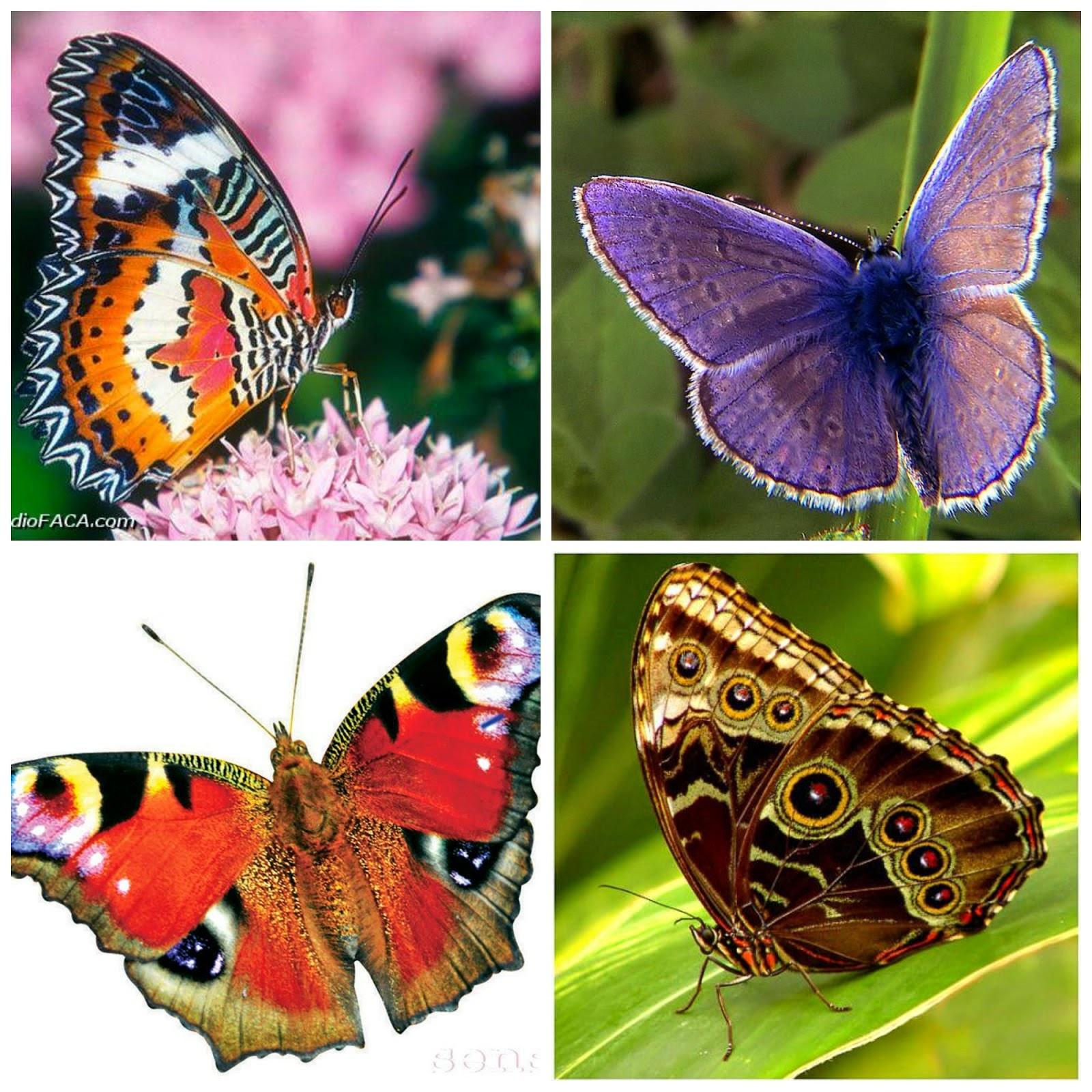 Alenka's Butterfly BH