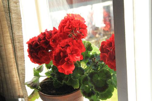 punainen pelargoni ikkunalla