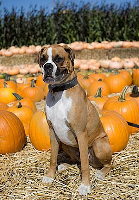 TheJungleStore.com Blog | Boxer Dog In Pumpkin Patch