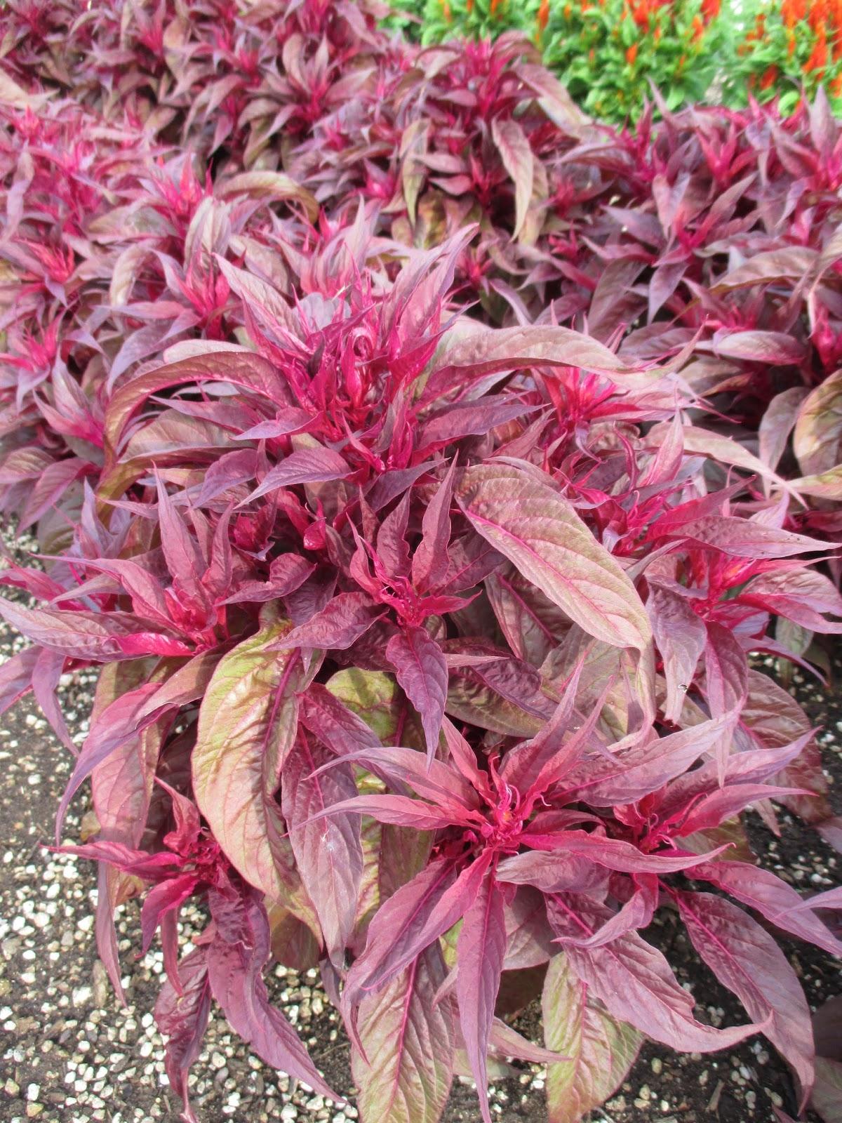 Dragons Breath Celosia Rotary Botanical Gardens