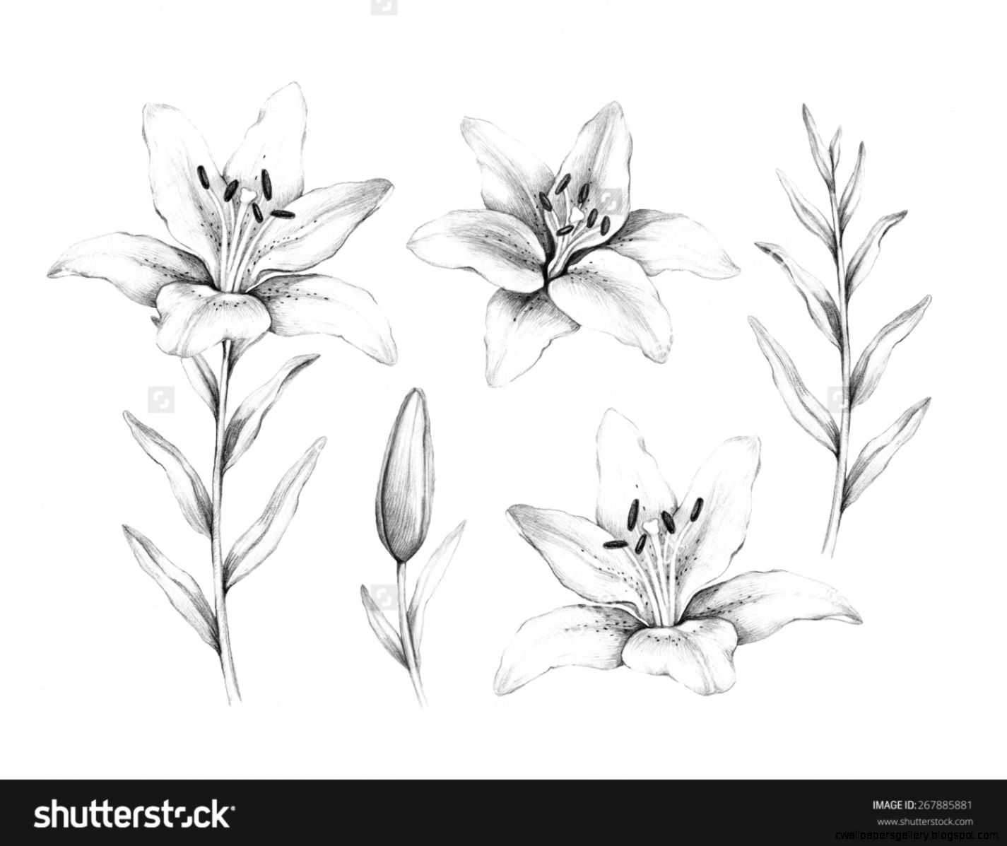 Pencil Drawing Of Lily Flower Stock Photo 267885881  Shutterstock