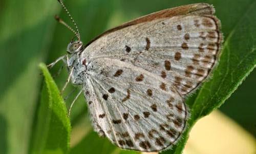 Muerte prematura de mariposas en Fukushima