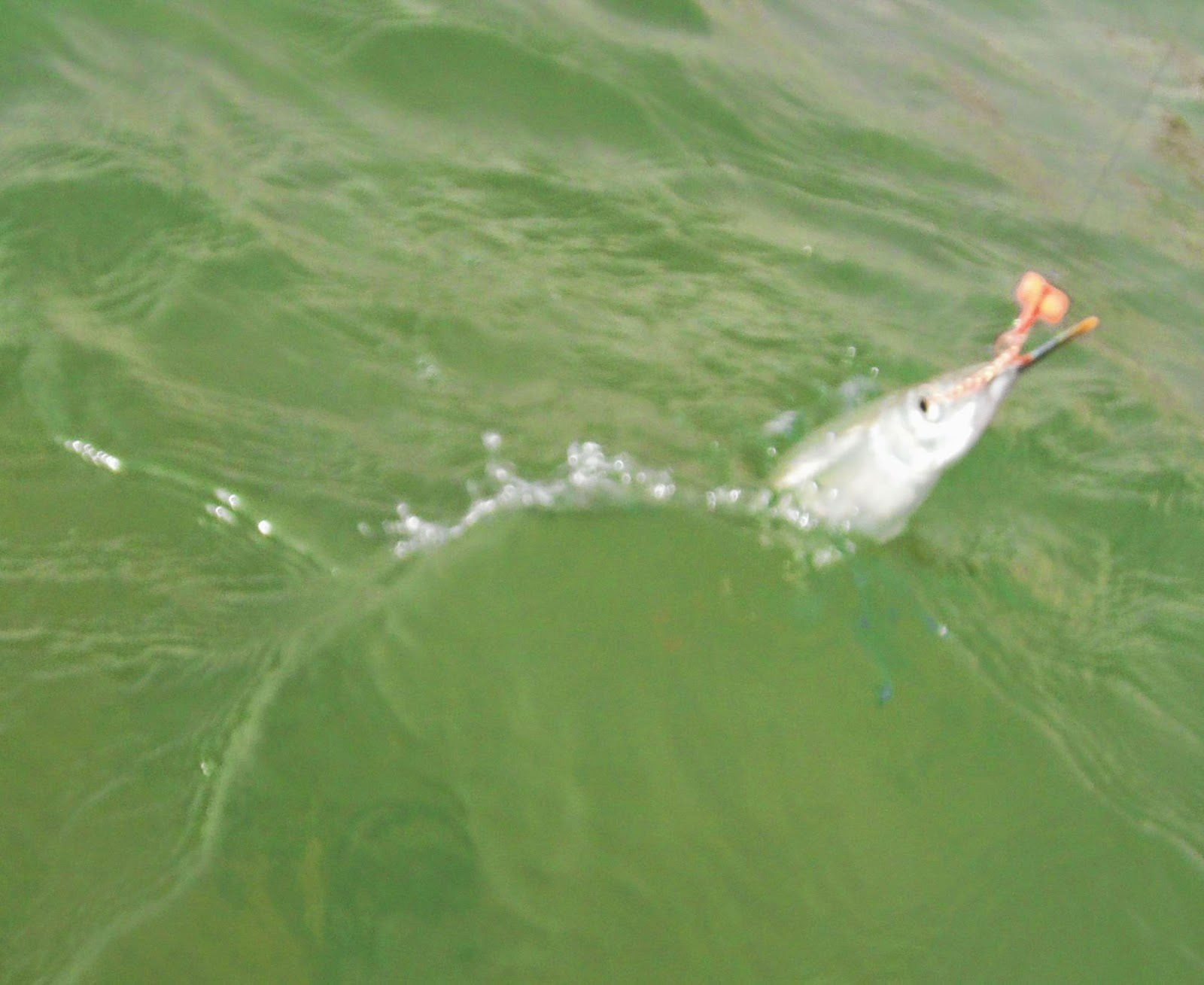 Fly fishing in the arabian gulf for Sound bound fishing