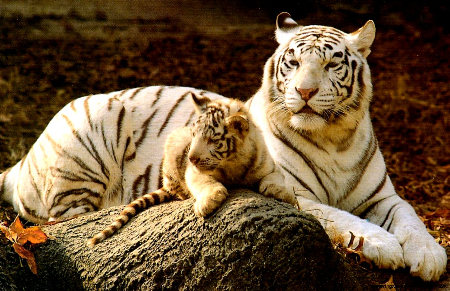 Baby Tiger Wallpaper 3d Amazing Wallpapers