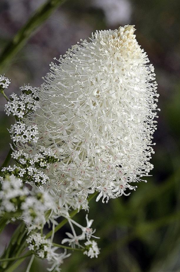 Liliaceae 'Beargrass' by Joanne-V