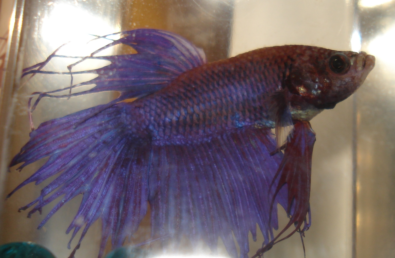 Bettas may 2012 for Crowntail betta fish