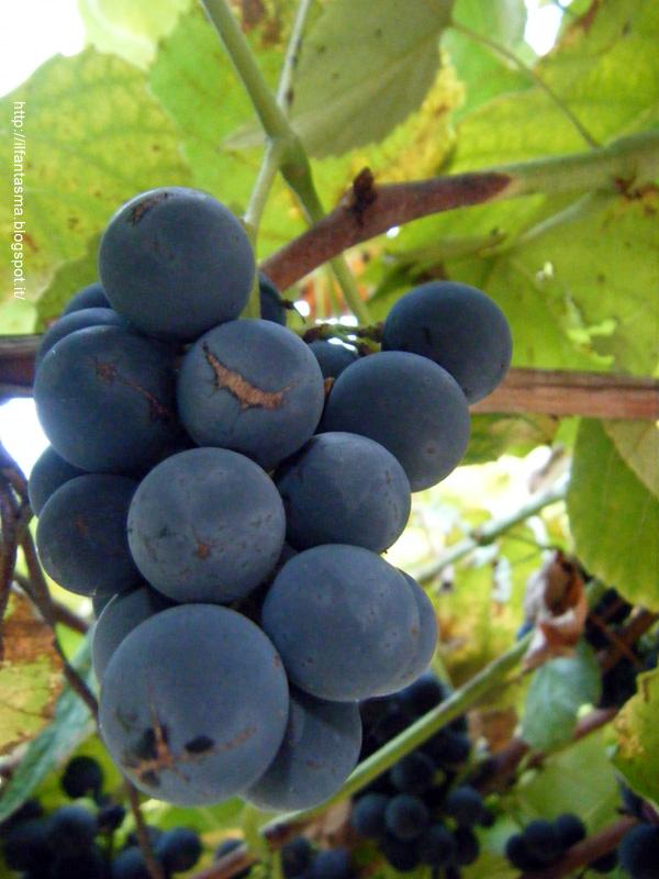 Le avventure della mia fantasia novembre 2012 for Uva fragola in vaso