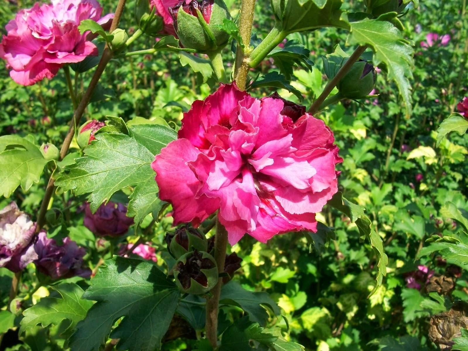 pollici rosa di rare piante gli ultimi fiori dell 39 estate. Black Bedroom Furniture Sets. Home Design Ideas