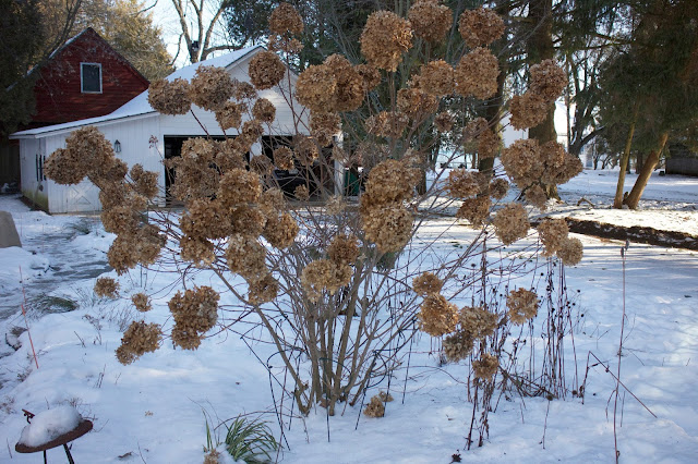 The Impatient Gardener -- Limelight hydrangea in winter