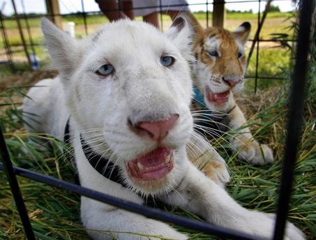 Animal Zoo Life: bengal tiger, Bengal tiger facts,bengal tigers ...
