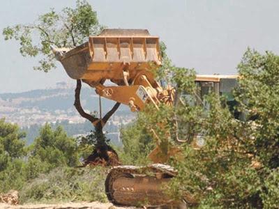 pokok zaitun Palestin