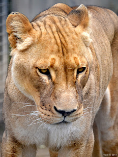 stare of the lioness