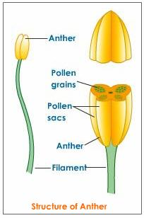 Tam's Bio: 3.3 - Flower structure + pollination