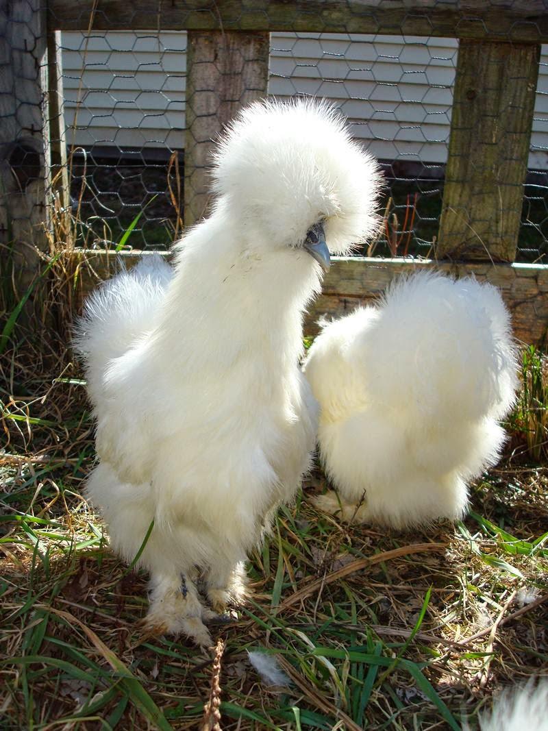 Silkie   The Fluffy Chicken