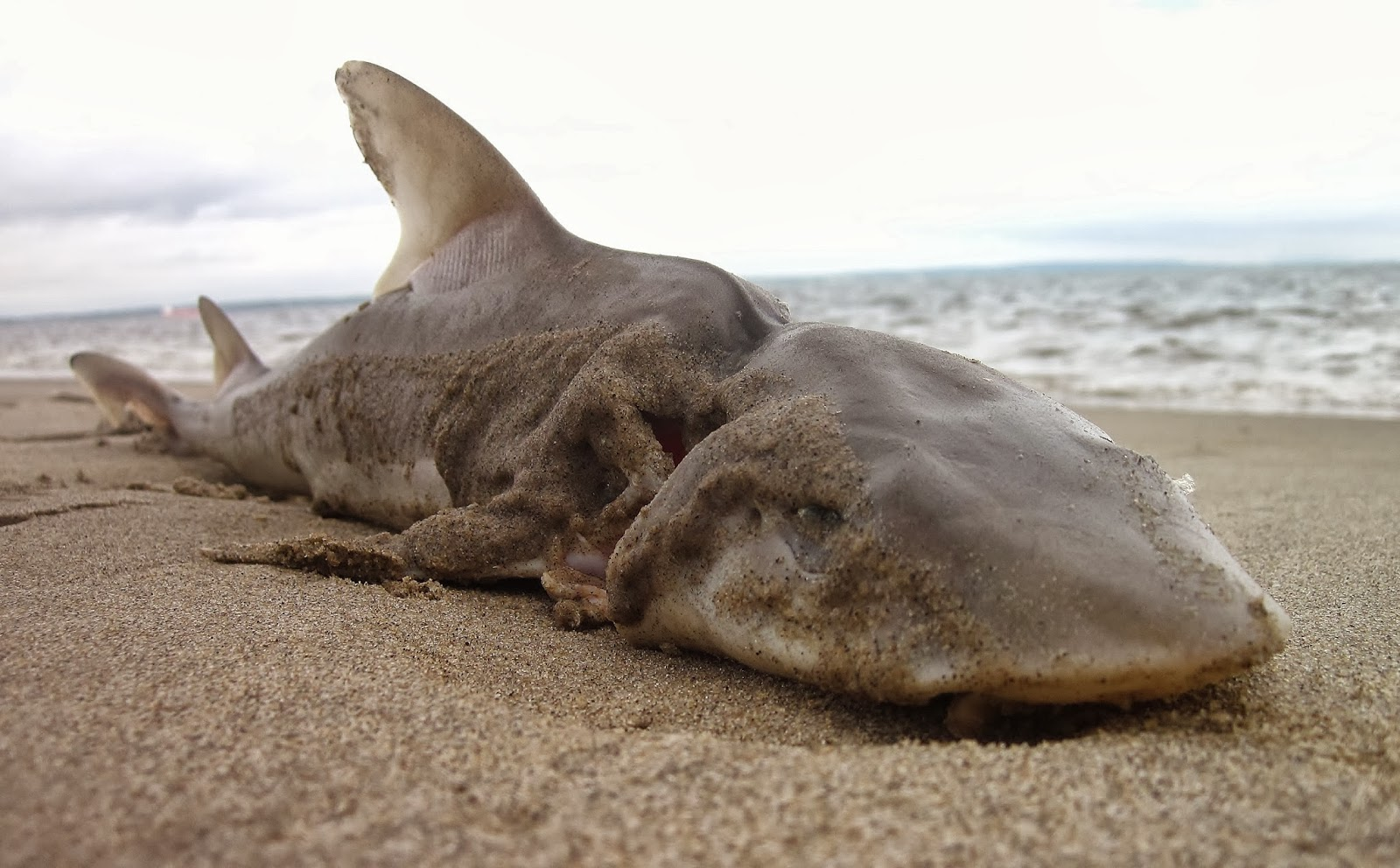 Washed up dogfish downstream from nyc nature on the edge for Water dog fish