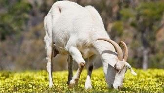 Cerita rakyat_India_anjing dan kambing