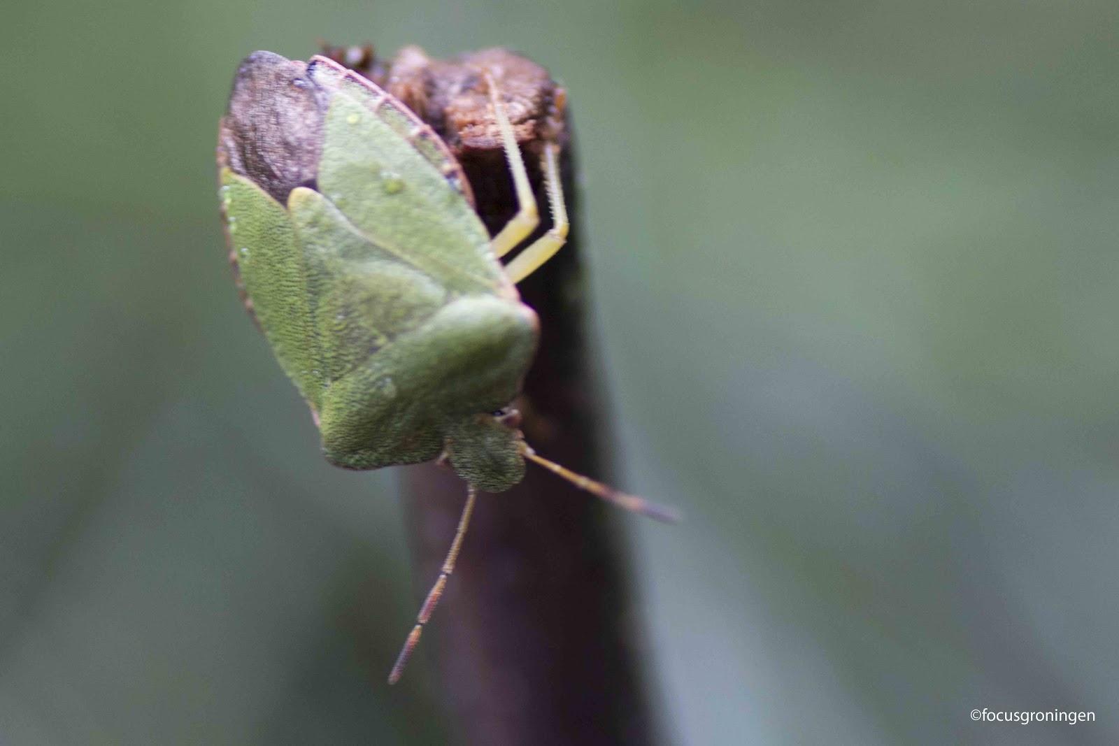 focusnatuur: Natuur Insecten Wantsen Groene stinkwants