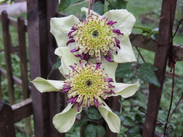 floraison remontante