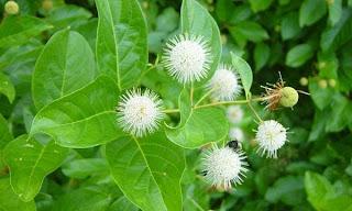 Budidaya Tanaman Kina ( Chinchona spp )