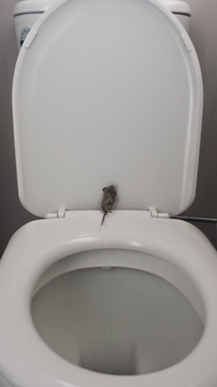 toilet trained mouse