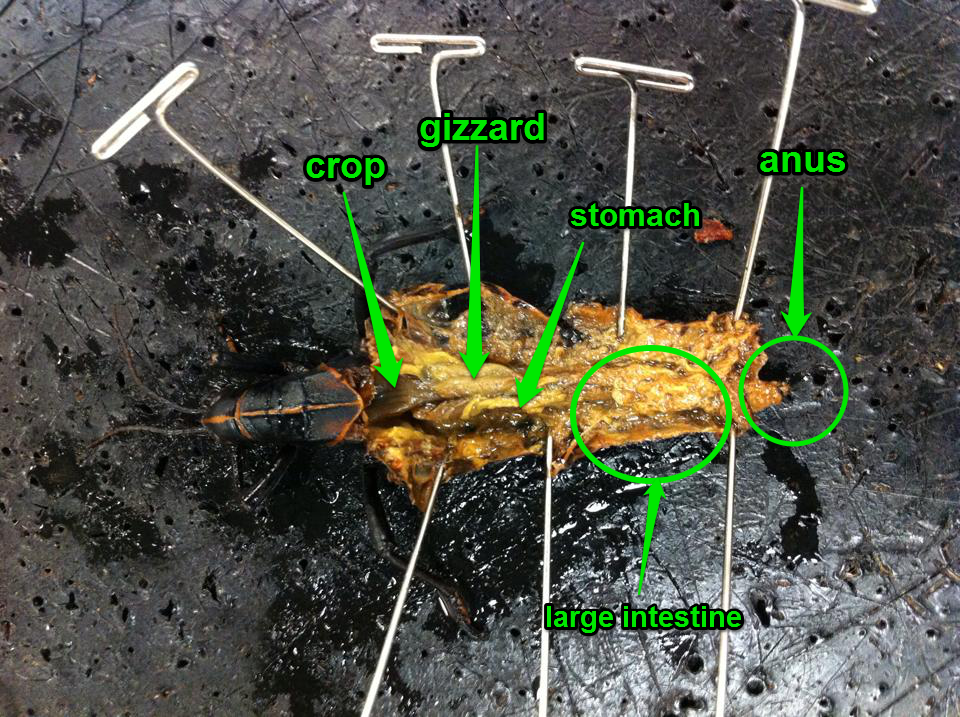Cathys Biology 11 Blog Grasshopper Dissection
