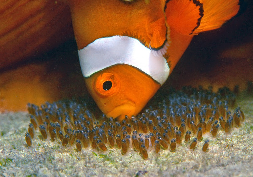 Daydream island resort and spa november 2014 for Clown fish size