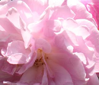 """Rose Splendor Detail, our garden, image by LeAnn for linenandlavender.net, """"Dream Day"""" post: http://www.linenandlavender.net/2012/05/dream-day.html"""