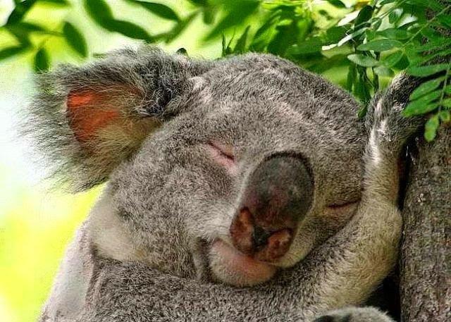 koala duerme hasta 22 horas al dia
