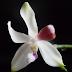 Orchidėja Phalenopsis